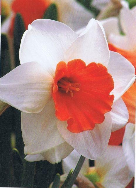 Chromacolor: Höhe 40 cm, Blütezeit M, Klasse/Farben 2-W/R, Preis 39 Euro/50Stk