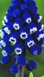 Muscari_Dark_Eye