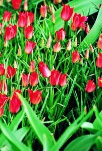 Tulipa_0020_limifolia